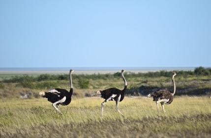 Ostriches!